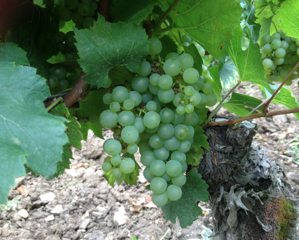 Puligny montrachet wakes up waiting for the harvests - La table d olivier leflaive puligny montrachet ...